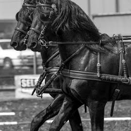 Symetry by Robert Kadar - Animals Horses ( horseback, challenge, horses, riding, sport )