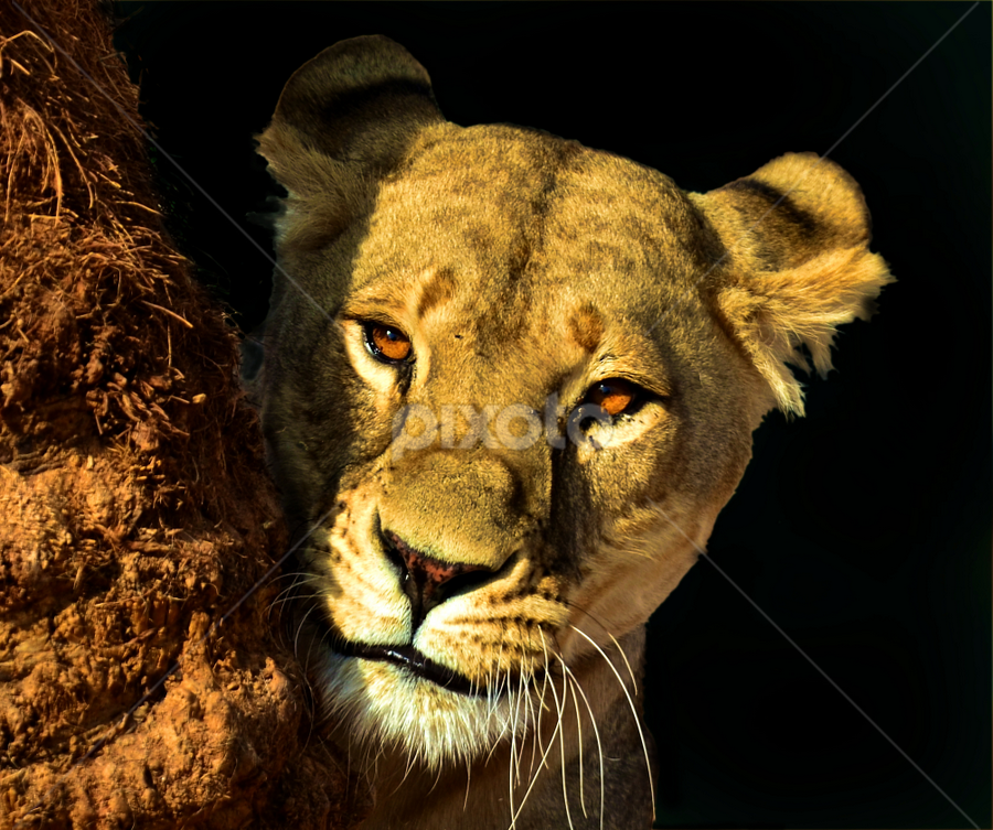 Lion - second edit by Mauritz Janeke - Animals Lions, Tigers & Big Cats ( predator, lion, animals, al ain zoo, blacked out, solid background, , zoowatch, zoo )