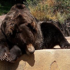 Sleepy Bear by Amanda Pietrangelo - Animals Other ( bear, zoo, rock, brown, relaxing )