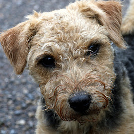 Libby by Chrissie Barrow - Animals - Dogs Portraits ( lakeland terrier, cream, portrait, eyes, patterdale terrier, pet, ears, fur, brown, dog, crossbreed, nose, black )
