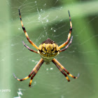 Araña tigre - Tiger spider
