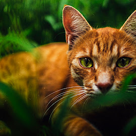 20170821 - I see you by Kovács Viktor - Animals - Cats Portraits ( cat, kitten, domestic, eyes, cats, cat eyes, pet, cat portrait, pets, green eyes, catsofinstagram, kittens, eye, cat playing )
