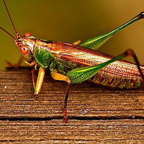 Grasshopper by Linda Tiepelman - Animals Insects & Spiders ( orange, green, cricket, katydid, insect, grasshopper, macro, missouri, wings, flying insect, bug, busch wildlife, brown, bush crickets )