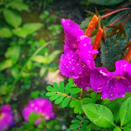 It's raining here ! by Dipin Dev P - Instagram & Mobile Android ( rain, flower photography, flowers, green, rain drops, nature, violet, nature up close, flower garden, raindrop, flower, flower nature, nature art, flower photo, raindrops, plants, flowers of india, flower up close, nature close up )
