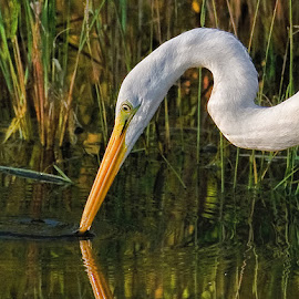 getting a drink by Steve Brooks - Animals Birds ( water, florida, herons, wildlife, egrets, birds )