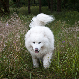 by Virginijus Juozapavicius - Animals - Dogs Running ( meadow )