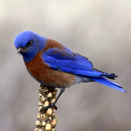 Western Bluebird in Arizona by Bob Brown - Animals Birds ( bird, nature, blue, arizona, brown, birds, western bluebird )