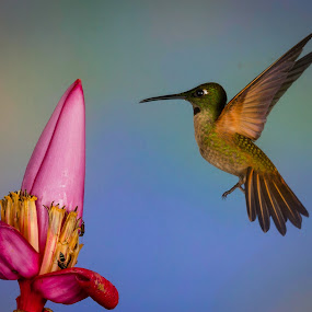 by Mike Trahan - Animals Birds ( flying, ecuador, fawn-breasted brilliant, tandayapa, hummingbird )