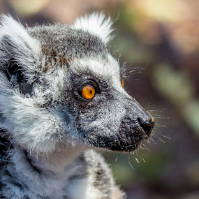 Lemur by Giovanni De Bellis - Animals Other Mammals (  )