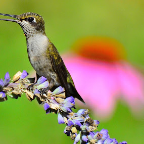 by Patricia Warren - Animals Birds ( nature, avian, hummingbird, wildlife, summer, garden, flower )