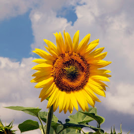 nice sunflower by LADOCKi Elvira - Flowers Flowers in the Wild ( nature, flowers, garden )