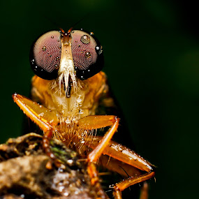 Robberfly by Oren Kaler - Animals Insects & Spiders ( pwcinsects&spiders )