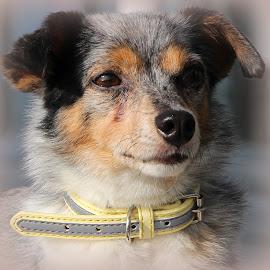 little doggie by Hilda van der Lee - Animals - Dogs Portraits ( doggie, sweet, collar, litle, close up, portrait,  )