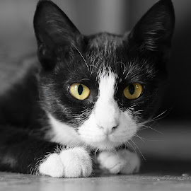 The Eyes by Marc Crowther - Animals - Cats Kittens