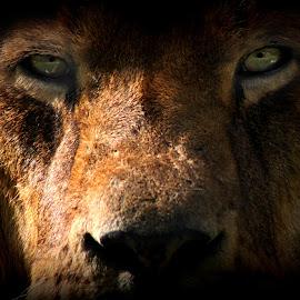 Lion  by Stephanie Veronique - Animals Lions, Tigers & Big Cats ( big cat, lion, cat, feline, eyes, animal )