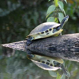 sTREAKY HEAD TURTLE by Patti Westberry - Animals Amphibians ( reflection, streaky head, turtle, peace river turtle, streaky head turtle )