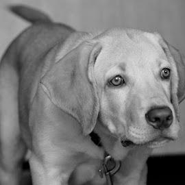 Puppy by Diliban P - Black & White Animals ( labrador retriever, black and white, pet, fawn, labrador, dog, lab, animal )