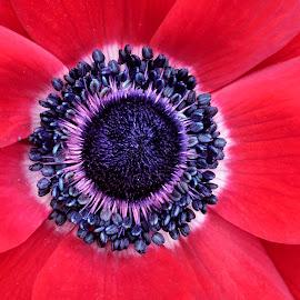 Poppy 9835 by Raphael RaCcoon - Flowers Single Flower