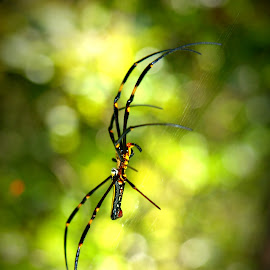 Golden Orb Weaver by Gary Piazza - Nature Up Close Webs ( creepy, hong kong, arachnid, web, spider, weaver spider )