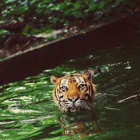Sumatera Tiger by Syafizul  Abdullah - Animals Lions, Tigers & Big Cats