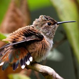 Hummer Fluf Ball <3 by Raphael RaCcoon - Animals Birds ( bird, color, hummingbird, humming bird, hummer )