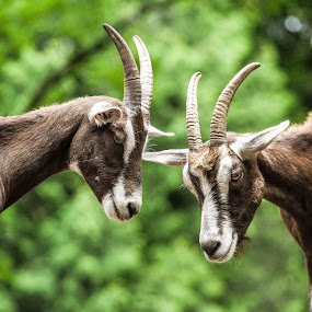 Happy goats at the petting zoo by Jason Lockhart - Animals Other Mammals ( wisconsin deer park, goats, animal portrait, wisconsin dells, petting zoo )