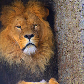 Artis Zoo Lion by Dylan Barlow - Novices Only Wildlife ( artis zoo, lion, zoo, amsterdam, netherlands )