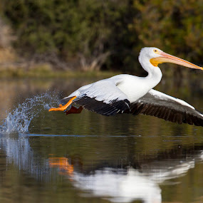 Pelican in the skies by Ruth Jolly - Animals Birds ( american white pelican, bird, nature, pelican, bird in flight, birding,  )