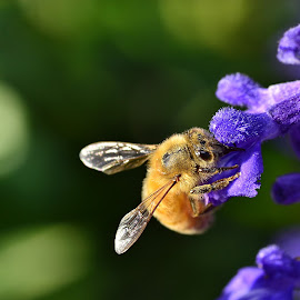 Honey bee in the salvia by Yani Dubin - Animals Insects & Spiders