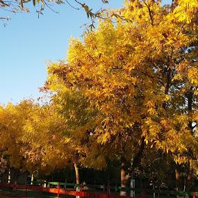 Yellow trees in my town :) by Nicoleta Nastasa - City,  Street & Park  City Parks (  )