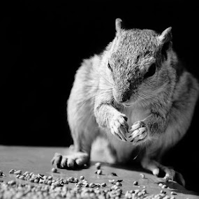 Squirrel by Adityendra Solanki - Animals Other Mammals