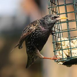 Starling by Stuart Walker - Uncategorized All Uncategorized ( starling, wildlife, birds, garden bird )