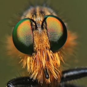 Robberfly by Bhavya Joshi - Animals Insects & Spiders