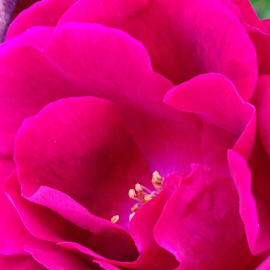 close up of a rose by Kathy Dee - Instagram & Mobile iPhone ( beatiful, rose, red, petals, bush, iphone, garden, butanical, flower, outside, up, close )