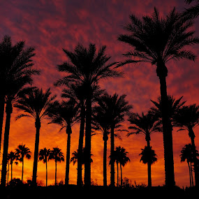 Christmas Eve Sunset by Bryan Snider - Landscapes Sunsets & Sunrises ( palm, clouds, palm tree, sky, color, sunset, silhouette, arizona, palm trees, landscape, phoenix )