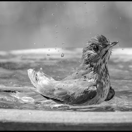 Swainson Thrush by Dave Lipchen - Black & White Animals ( swainson thrush )