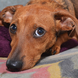Dachshund by Michael Cowan - Animals - Dogs Portraits ( shelter, adopt, dog )