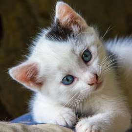 Sweetness Itself by Sophie De Roumanie - Animals - Cats Kittens ( kitten, cat, blue, feline, mammal, animal )
