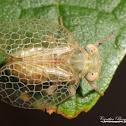 Issid Planthopper