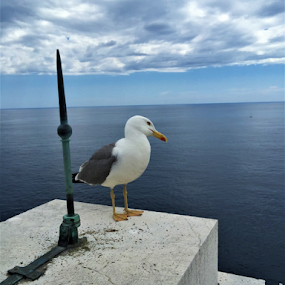 Seagull the poser by Luka Mitrović - Animals Birds ( sky, seagull, horizon, sea, rooftop,  )