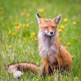 Red Fox by Dave Lipchen - Animals Other Mammals ( red fox )