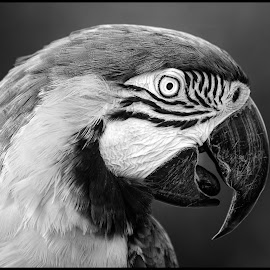 Blue Yellow Macaw by Dave Lipchen - Black & White Animals ( blue yellow macaw )