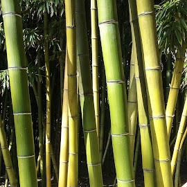 Bamboo 2 by Gail Marsella - Nature Up Close Gardens & Produce ( bamboo, green, san diego botanical garden, yellow, garden )
