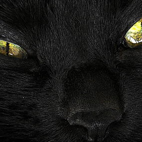Sammy 072 by Patrick Hayes - Animals - Cats Portraits ( cat, black, eyes )