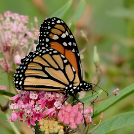 Butter-milkweed by Melissa Davis - Animals Insects & Spiders ( butterfly, monarch, milkweed, backyard, flowers )