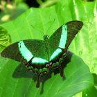 Emerald swallowtail butterfly