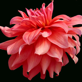 DAHLIA by SANGEETA MENA  - Flowers Single Flower (  )