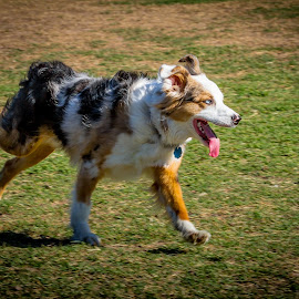 by Ron Meyers - Animals - Dogs Running