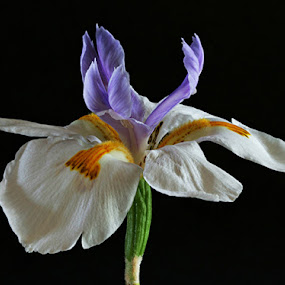 Dietes grandiflora, the Rain Iris by Simon Joubert - Nature Up Close Flowers - 2011-2013 ( grandiflora, macro, still life, dietes, afromacro, south africa, iris, simon joubert, rain, flower )