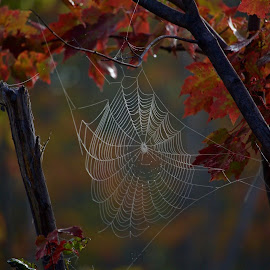 Autumn web by Kim Trevors - Nature Up Close Webs